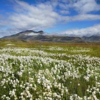 obrázky z islandské přírody 18 aneb ... téměř bavlníková plantáž