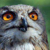 Oči dravce