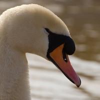 Když labuť mrkne