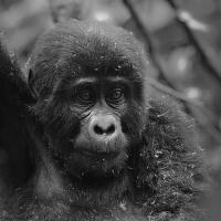Gorilka