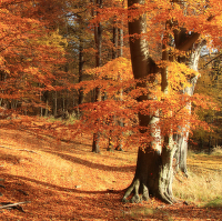 Podzimní bučina