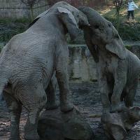 Hrátky, Slon africký v ZOO