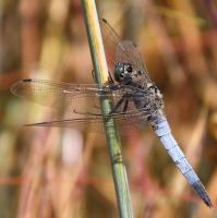 vážka černořitná - (Orthetrum cancellatum)