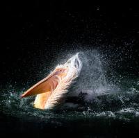 Vodní divočák