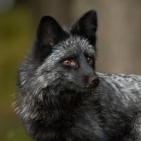 Čertice-liška stříbrná