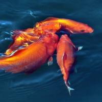 zlaté rybky