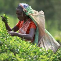 Sběračky čaje na čajových plantážích na Srí Lance