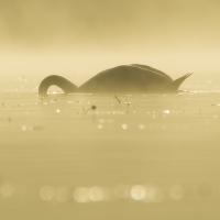 Ranní lov (Cygnus olor)