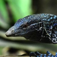 Varan modrý