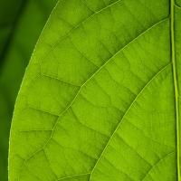 List mangovníku