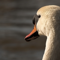 Labutí pohled