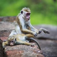 Ajurvedska masaz na Sri Lance