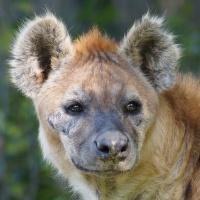 Ve střehu (Hyena skvrnitá)
