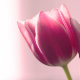 Růžový pán