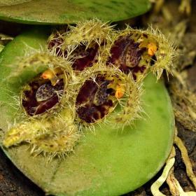 Acianthera crinita(Pleurothallis crinita)