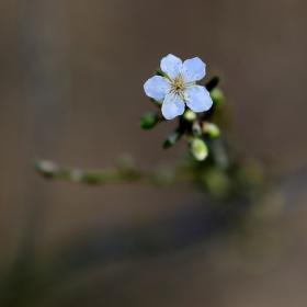 První květ