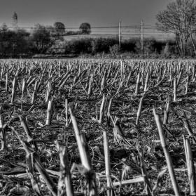 Kukuřice po sklizni