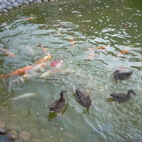 Káčenky s rybičkami v malém jezírku.