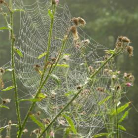 orosená pavučina