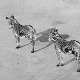 Zebry..