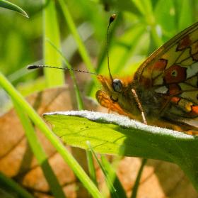 motýl a list