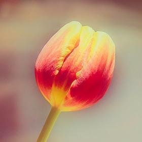 Zátiší s tulipánem III.