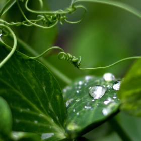 Dešťové kapky na listech hrášku.