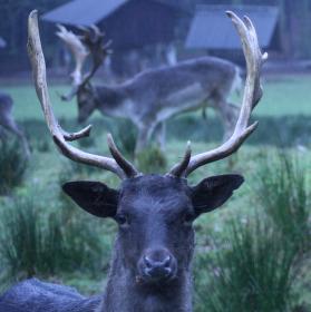 ::: fallow deer