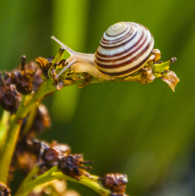 Hlemýžď zahradní