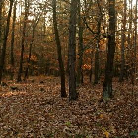 podzim dubový