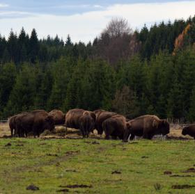 Bizon americký (Bison bison)