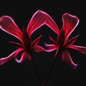 Pelargonium Fractaleae