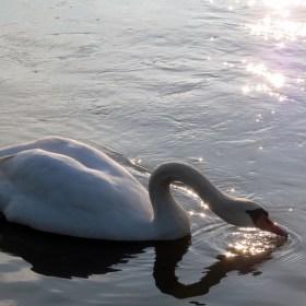 Labuť na řece