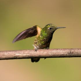Kolibřík žlutoocasý (Boissonneaua flavescens)