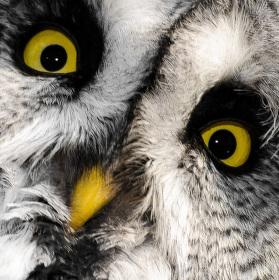 Yellow-eyed