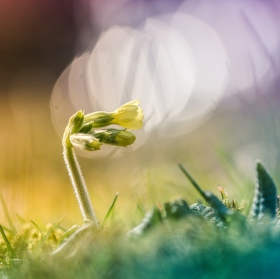 Prvosenka jarní(Primula veris)