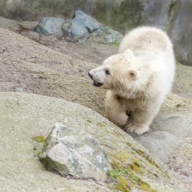 Velká malá medvědice