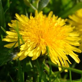 Žlutá kráska