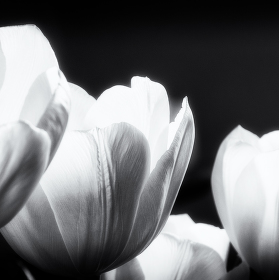 zátiší s tulipány VII.