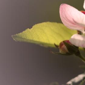 Jabloňový květ...