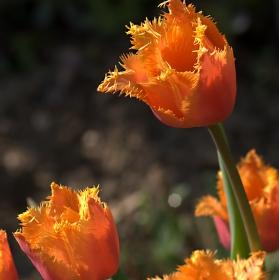 Slunce v tulipánech