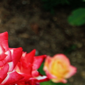 Růže věčná modelka.