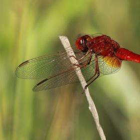 vážka červená...