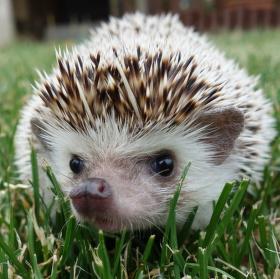 Charlie (africký ježek bělobřichý)