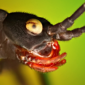 Strašilka ďábelská