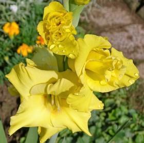 Květy Gladioly