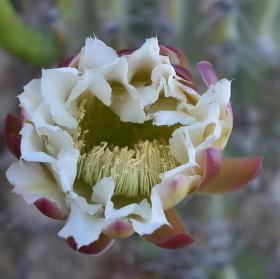 Květ kaktusu dramaticky