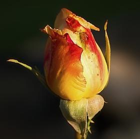 Růže ráno