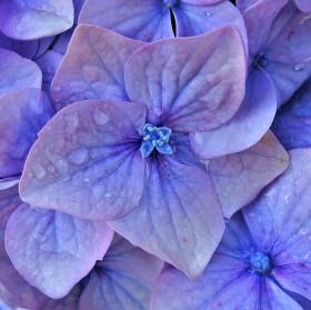Květy Hortenzie (Hydrangea)