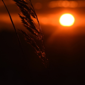 Obilí v žáru slunce